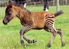 Keledai dengan Zebra
