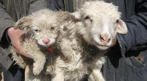 Anjing dengan Kambing/Domba