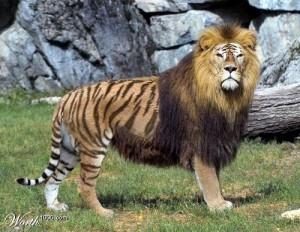 Singa dengan Haimau