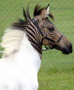 Kuda dengan Zebra